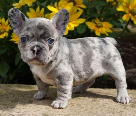 franzoesische bulldogge welpen  seltenen farben hunde