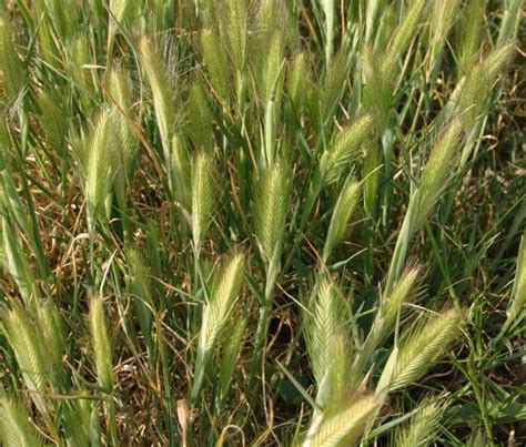 http://quazoo.com/q/hordeum murinum subsp. leporinum