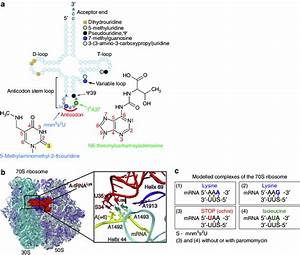 Structure And Modifications Of Lysine Trna Lys Suu From E