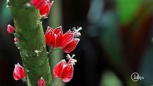 Pflanze Mit Roten Blüten : deutschland k ln blumen und bl ten malvengew chs mit roten bl ten am stamm ~ Eleganceandgraceweddings.com Haus und Dekorationen