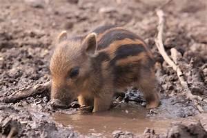 Kleine Tiere Im Mehl : die besten 17 ideen zu schweine auf pinterest ferkel ~ Lizthompson.info Haus und Dekorationen