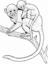 Monkey Coloring Pages Monkeys Realistic Printable Animals Tree Wildlife Climbing Trees Capuchin Awesome Popular sketch template