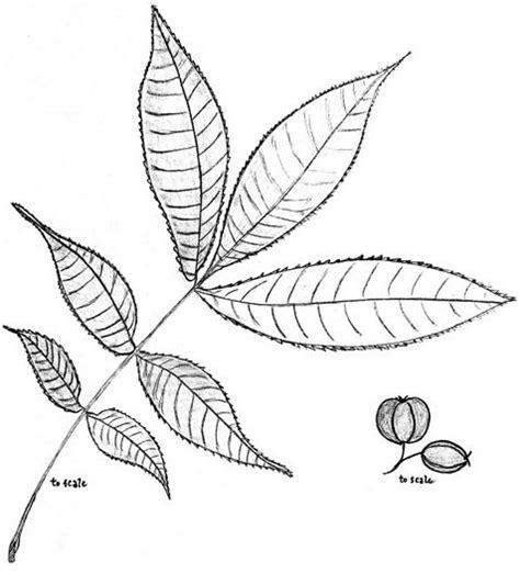 carya spp hickory thickshelled juglandaceae