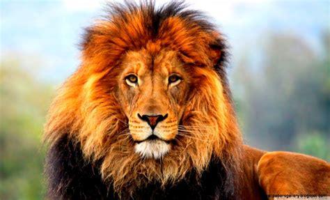 lion wallpaper hd widescreen wallpapers gallery