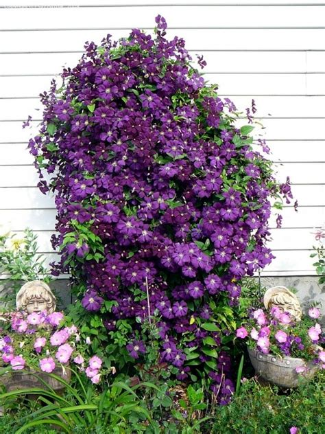 Tips For Planting, Care And Cutting  Clematis Climbing