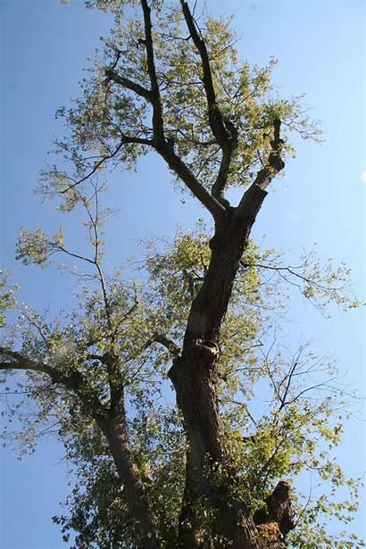 Silver Maple Trees Delaware Delawaretrees