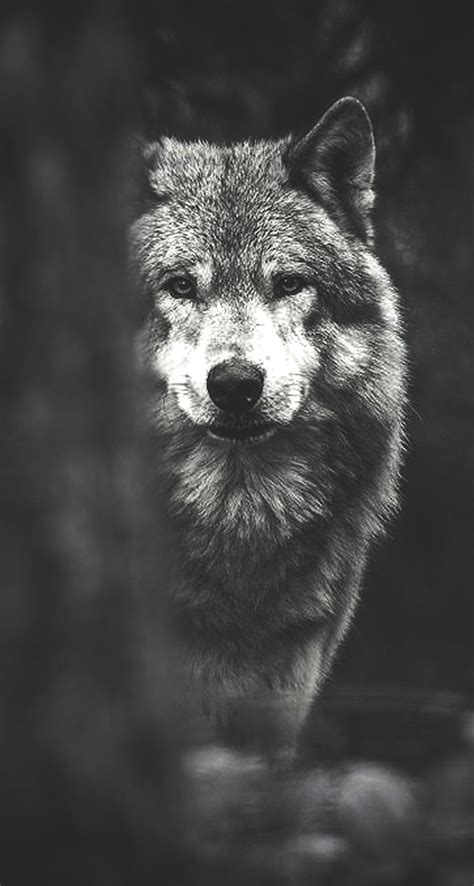 Wolf Wallpaper For Iphone 11 by Wolf Phone Wallpaper Wallpapersafari