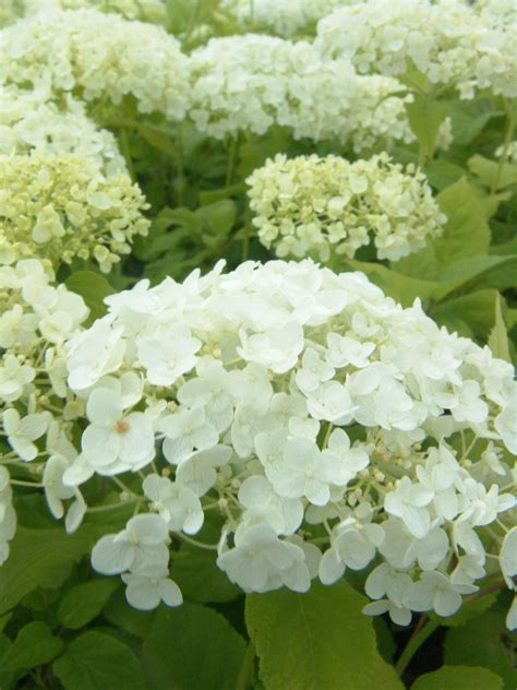 pruning incrediball hydrangea how to prune and care for hydrangeas natorps