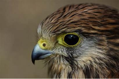 Hawk Bird Resolution Wallpapers Backgrounds Desktop Pc