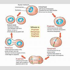 The Cell Cycle  Wonders Of Life Science