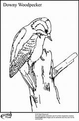 Woodpecker Coloring Pages Downy Woody Woodpeckers Colors Adults Voor Volwassenen Head Printable Kleuren Cartoon Its sketch template