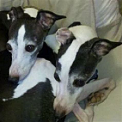 italian greyhound rescue adoptions