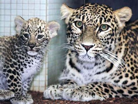 persian leopard beautiful big spotted wild cat