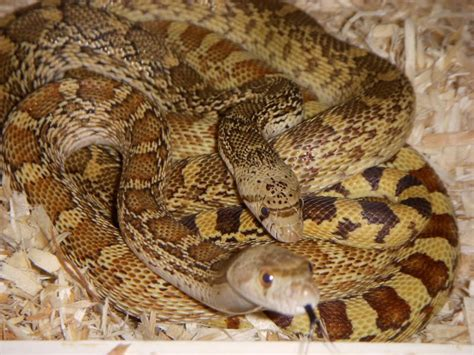 snakes as pets gopher snakes as pets