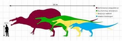 Baryonyx Suchomimus Spinosauridae Diagram Human Spinosaurids Svg