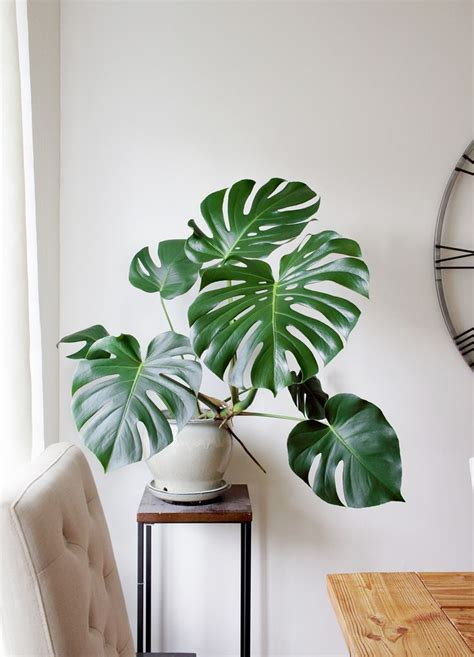 pricey houseplants   part  monstera deliciosa
