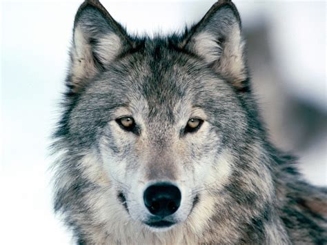 Wolf Wallpaper For Iphone 11 by Black And White Wolf 11 Hd Wallpaper Hdblackwallpaper