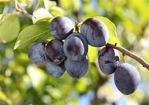 Arbres Fruitiers Nains En Pleine Terre : arbre fruitier intrieur amazing pommier de plein vent ~ Premium-room.com Idées de Décoration