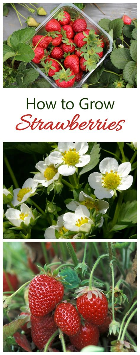 how to grow strawberries growing strawberries tips and tricks for best success the gardening cook