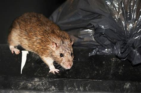 Giant 'super-rats' Are Less Of A Problem Than New 'super