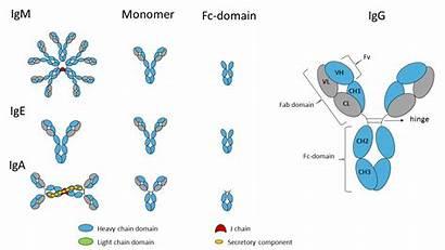 Fc Ig Immunoglobulin Domains Domain Antibody Structure