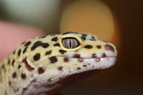 leopard gecko leopard gecko the life of animals