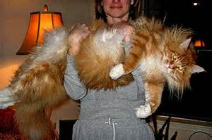 big maine coon cats for cats in pictures photos and unique cats largest