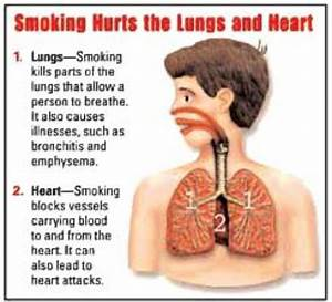 Picture Of Your Heart And Lungs