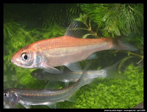 was fressen goldfische goldorfe in tr 252 ben wasser foto bild tiere haustiere aquaristik bilder auf fotocommunity