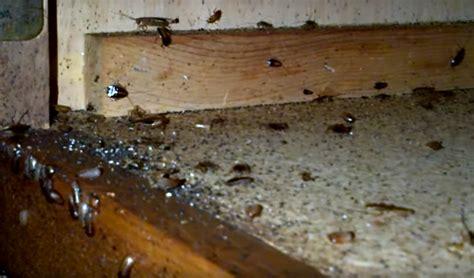 How To Get Rid Of German Cockroaches, Blattella Germanica