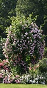 Rosen Für Rosenbogen : rambler kletterrosen rosen rosen von schultheis ~ Orissabook.com Haus und Dekorationen