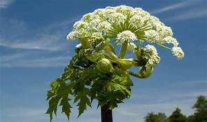 Giant Hogweed: Legal battle after boy, 7, scarred on ...