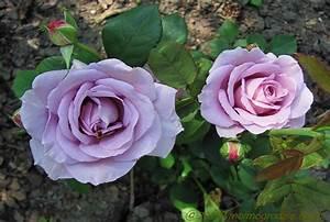 Mainzer Fastnacht Rose : w moim ogrodzie mainzer fastnacht hybrid tea ~ Orissabook.com Haus und Dekorationen