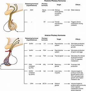 Anatomy  U0026 Physiology  The Pituitary Gland And Hypothalamus