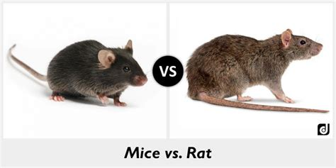 mice vs rats difference between mice and rat