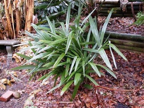 winterharte palmen bis 25 grad 5 winterharte palmen f 252 r nachhaltiges gartengr 252 n fresh ideen f 252 r das interieur dekoration und