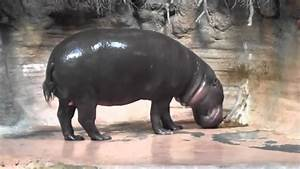 Pygmy hippo eats poop - YouTube