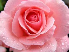Resultado de imagen de fotos de rosas rosas