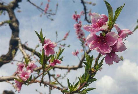 alberi con fiori rosa come riconoscere 6 alberi da frutto dai loro fiori