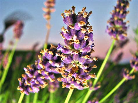 Gambar : menanam ungu herba botani taman dekat Flora