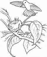 Hummingbird Coloring Pages Printable Hummingbirds Birds Getcoloringpages Flowers sketch template