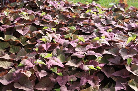 Decorative Potato Plant - sweet potato vine adds unique colors mississippi state