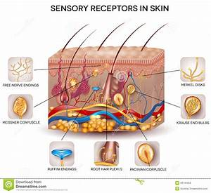Sensory Receptors In The Skin Stock Vector