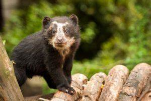 Spectacled Bear Facts, Habitat, Diet, Life Cycle, Baby ...