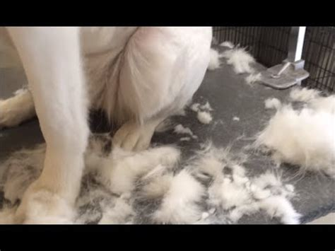Heavy Shedding Dogs by Top Ten Shedding Dogs Top Heavy Shedding Dogs Top 10