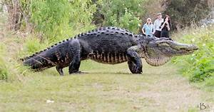 Giant Alligator Measuring 12 Feet Long Spotted In Florida
