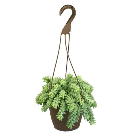 home depot hanging ls 6 in assorted donkey tails hanging basket plant 0881003