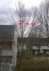 Kirschbaum Richtig Schneiden : schnitt eines kirschbaums garten baumschnitt ~ Frokenaadalensverden.com Haus und Dekorationen