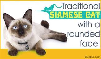 siamese cats facts the felines from thailand siamese cat types and related facts
