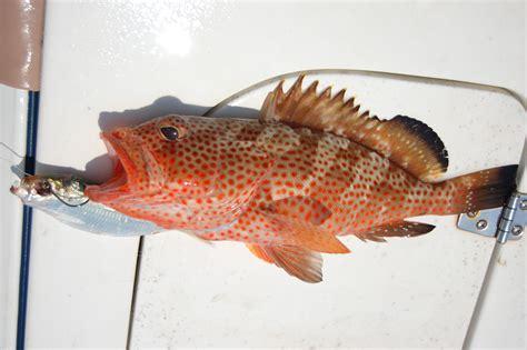 grouper mitchell kitty fish king epinephelus latin mounts sailfish